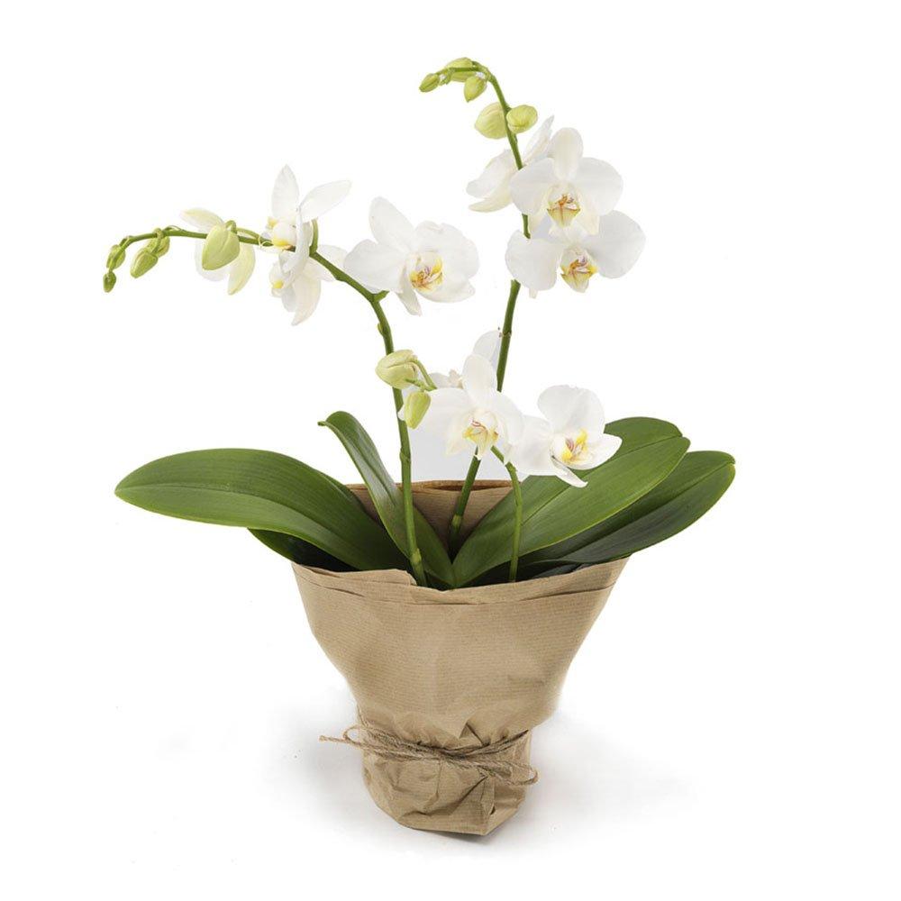 Piante Da Regalare A Pasqua bianca: orchidea phalaenopsis bianca
