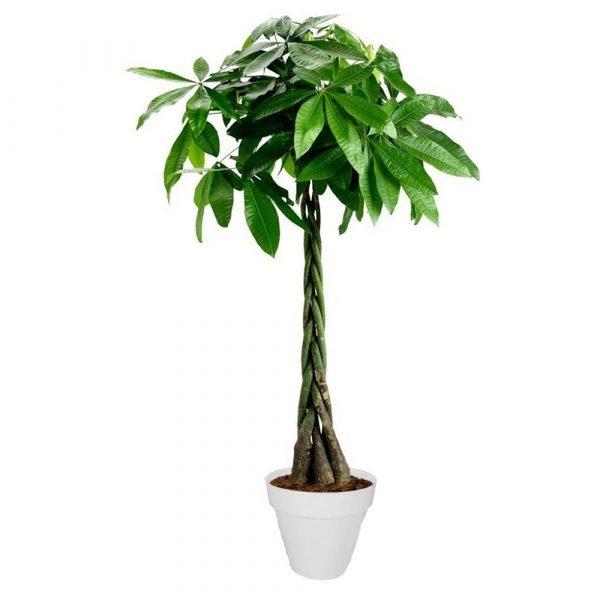 pianta tronco intrecciato